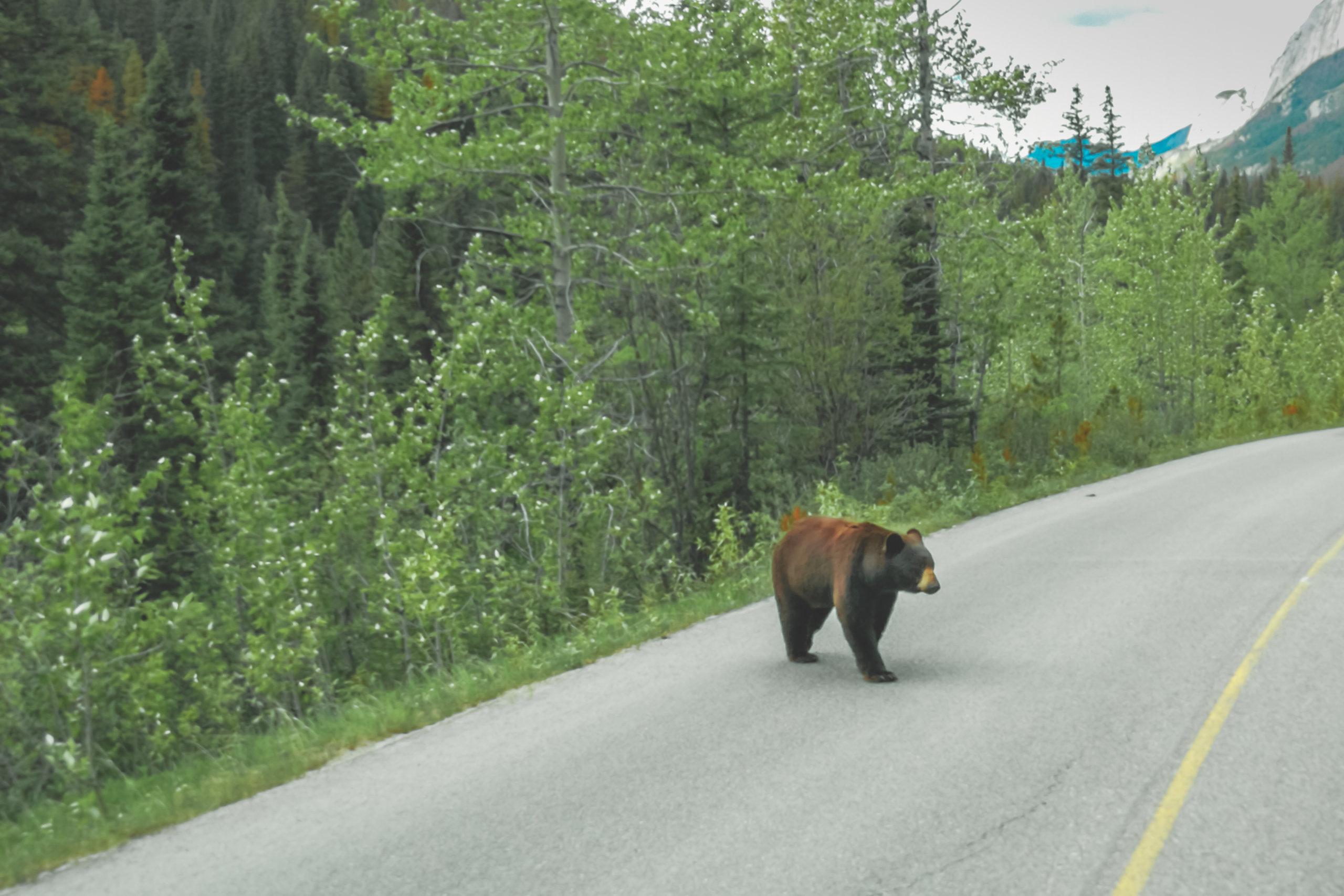 Schwarzbär mitten auf dem Highway