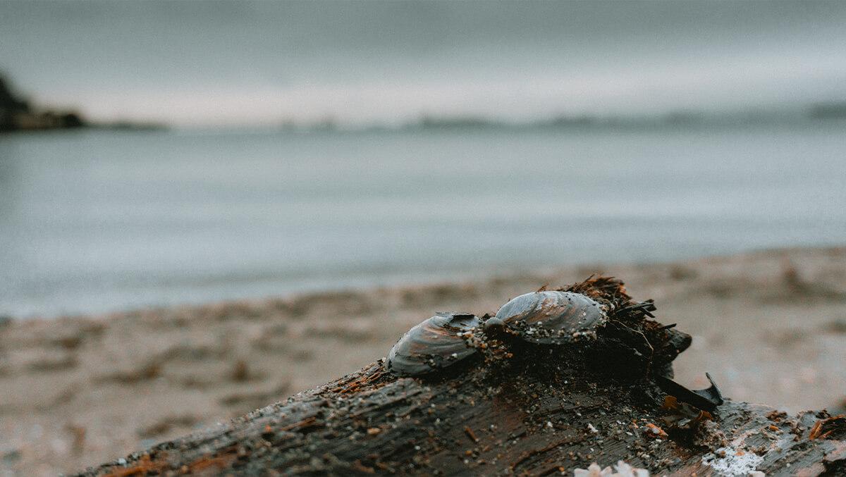 Muschel auf Baumstamm Kitsilano Beach