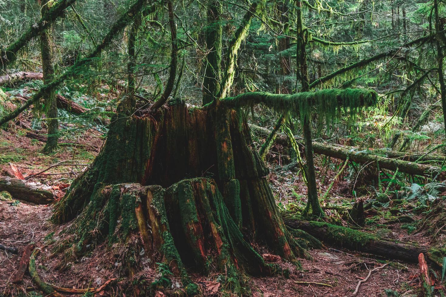 Moosbewachsener Baumstamm Baden Powell Trail