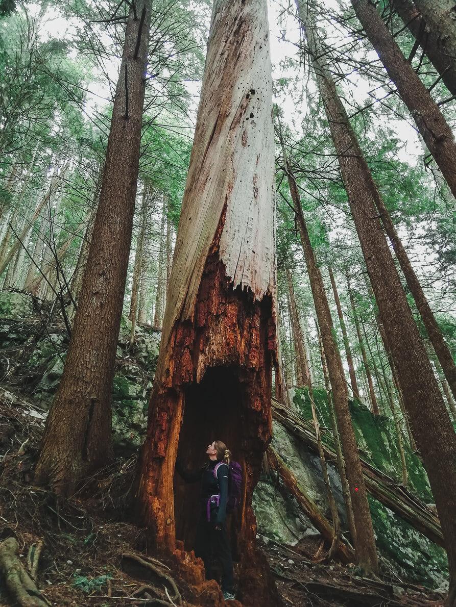 Giant Cedar Baden Powell Trail