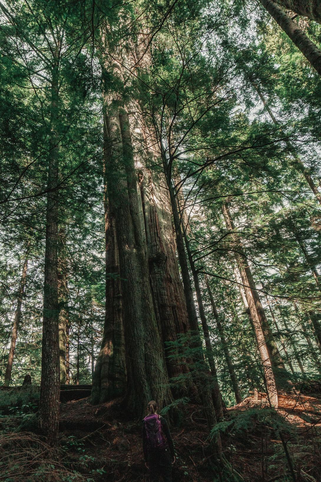 Big Cedar auf dem Cedar Trail