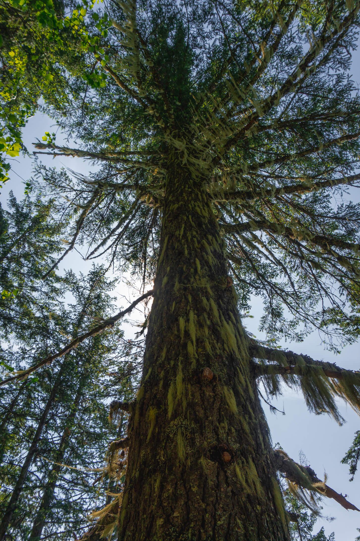 Moosbewachsener Baum am Broken Bridge Trail Revelstoke
